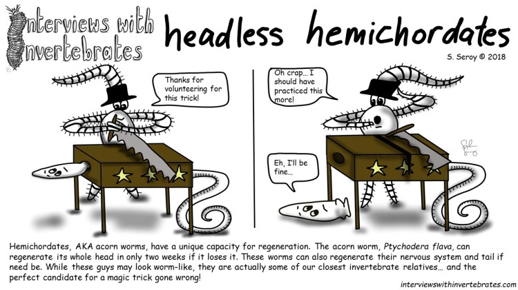 headless_hemichordates